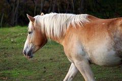 Ritratto di bello cavallo Immagine Stock Libera da Diritti