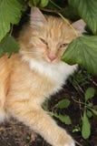 Ritratto di bello gatto dello zenzero che riposa sotto un cespuglio nel g immagini stock libere da diritti