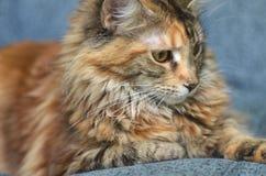 Ritratto di bello giovane gatto di procione lavatore della Maine Immagini Stock