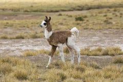 Ritratto di bello lama del bambino, Bolivia Immagini Stock Libere da Diritti