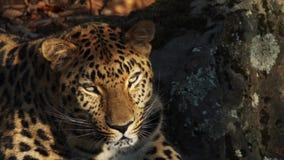 Ritratto di bello leopardo raro dell'Amur in Primorsky Safari Park, Russia video d archivio