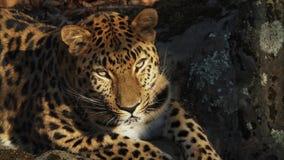 Ritratto di bello leopardo raro dell'Amur in Primorsky Safari Park, Russia stock footage