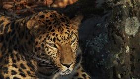 Ritratto di bello leopardo raro dell'Amur in Primorsky Safari Park, Russia archivi video