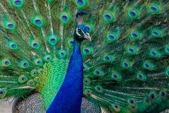 Ritratto di bello pavone fotografie stock
