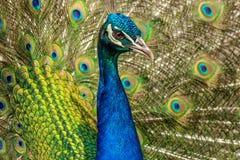 Ritratto di bello pavone fotografia stock