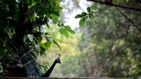 Ritratto di bello pavone con le piume fuori Chiuda su del pavone che mostra le sue belle piume archivi video