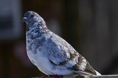 Ritratto di bello piccione domestico un giorno di molla soleggiato Azienda agricola del piccione Immagine Stock Libera da Diritti