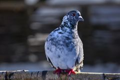 Ritratto di bello piccione domestico un giorno di molla soleggiato Azienda agricola del piccione Fotografie Stock Libere da Diritti