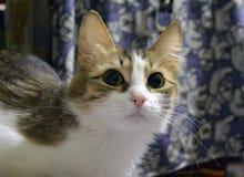 Ritratto di bello primo piano tricolore del gattino immagini stock