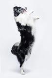 Ritratto di border collie su un fondo grigio, elevantesi su immagini stock