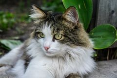 Ritratto di Cat With Green Eyes fotografie stock