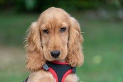 Ritratto di cocker spaniel del cucciolo di cane su erba fotografia stock libera da diritti