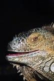 Ritratto di colore dell'iguana a fondo scuro Immagine Stock