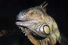 Ritratto di colore dell'iguana a fondo scuro Immagini Stock Libere da Diritti