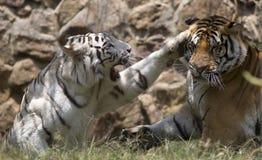 Tigri che combattono dopo l 39 accoppiamento fotografia stock for Disegni delle tigri