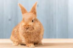 Ritratto di coniglio sulla tavola di legno Immagine Stock