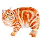 Ritratto di dell'isola di Man rosso, gatto dell'acquerello di Manks senza la coda su fondo bianco Fotografia Stock Libera da Diritti