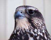 Ritratto di Eagle dalla destra Fotografia Stock