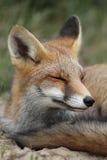 Ritratto di Fox rosso Fotografia Stock