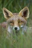 Ritratto di Fox rosso Immagine Stock