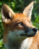 Ritratto di Fox rosso Immagine Stock Libera da Diritti