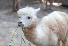 Ritratto di giovane alpaga lanuginosa (pacos del Vicugna) Fotografie Stock Libere da Diritti