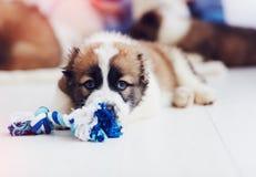 Ritratto di giovane cucciolo caucasico del pastore che si trova sul pavimento a casa Fotografia Stock