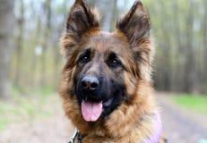 Ritratto di giovane pastore tedesco lanuginoso Dog in Forest Walks With animali domestici all'aperto Immagini Stock Libere da Diritti