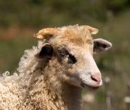 Ritratto di giovane pecora in Croazia Fotografie Stock Libere da Diritti