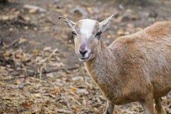 Ritratto di giovane pecora di muflone immagini stock