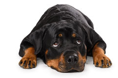 Ritratto di giovane Rottweiler fotografie stock