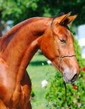 Ritratto di giovane stallone della baia Fotografie Stock Libere da Diritti