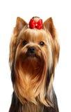 Ritratto di giovane Terrier di Yorkshire Fotografia Stock