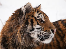 Ritratto di giovane tigre siberiana - altaica del Tigri della panthera Fotografia Stock Libera da Diritti