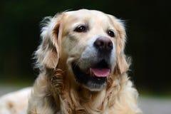 Ritratto di golden retriever Fotografia Stock