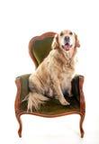 Ritratto di golden retriever che si siede su una sedia Immagini Stock