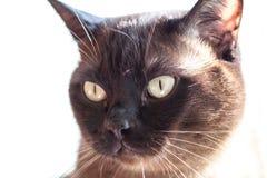 Ritratto di grande gatto maschio Immagine Stock Libera da Diritti