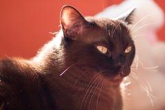 Ritratto di grande gatto maschio Fotografie Stock Libere da Diritti