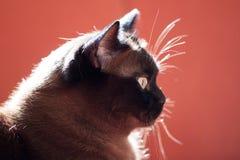 Ritratto di grande gatto maschio Immagini Stock Libere da Diritti