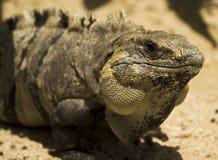 Ritratto di grande iguana Fotografia Stock Libera da Diritti