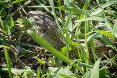 Ritratto di grande lucertola verde in uno sguardo nascondentesi del boschetto e nel cercare fra l'erba fertile su una fine del pr Fotografia Stock