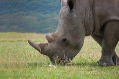 Ritratto di grande rinoceronte bianco che pasce erba in pascolo africano Fotografie Stock Libere da Diritti