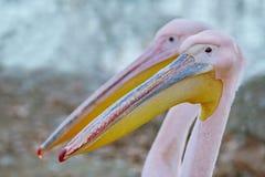 Ritratto di grande Rosy Pelican immagine stock libera da diritti