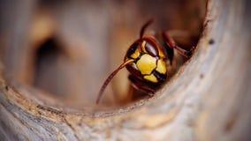 Ritratto di grande vespa - un calabrone Fotografia Stock