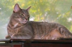 Ritratto di Greypaws dalla finestra Fotografie Stock Libere da Diritti