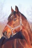 Ritratto di inverno del cavallo di baia Fotografie Stock Libere da Diritti