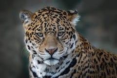 Ritratto di Jaguar Fotografia Stock Libera da Diritti