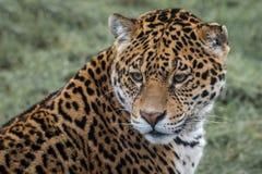 Ritratto di Jaguar Fotografia Stock