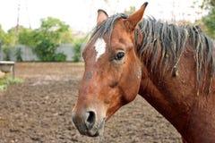 Ritratto di lavoro duro del cavallo nel campo Immagine Stock Libera da Diritti