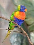 Ritratto di Lorikeet del Rainbow Immagini Stock